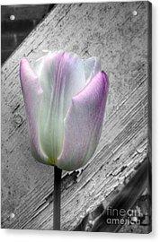 Solitary Pink Whisper Tulip Acrylic Print
