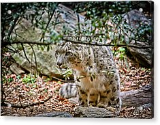 Something Got His Attention Acrylic Print by Karol Livote