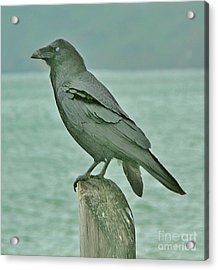 Something To Crow About Acrylic Print