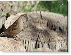 Song Sparrow Looks Curious Acrylic Print