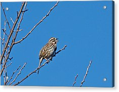 Acrylic Print featuring the photograph Song Sparrow by Michael Peychich