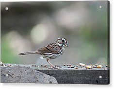 Song Sparrow With Seed In Beak Acrylic Print by Dan Friend