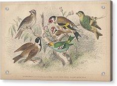 Songbirds Acrylic Print