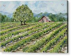 Sonoma County Vineyard Acrylic Print by Virginia McLaren