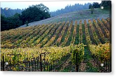Sonoma County Vineyards Near Healdsburg Acrylic Print