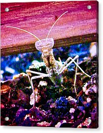 Sonoran Desert Ground Mantis Acrylic Print
