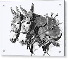 Sorrel Mule Team Acrylic Print