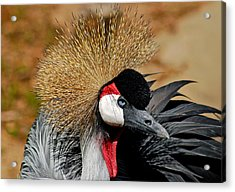 South African Crowned Crane Acrylic Print