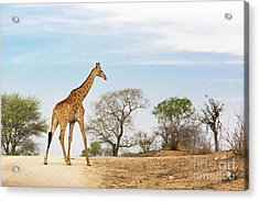 South African Giraffe Acrylic Print