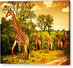 South African Giraffes Acrylic Print