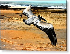 South Padre Pelican Acrylic Print by Laurie Prentice
