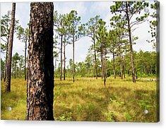 Southeast Pine Savanna Acrylic Print