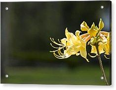 Southern Azalea Acrylic Print by Jennifer Kelly