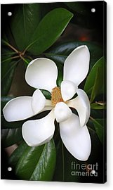 Southern Charm Magnolia Grandiflora Acrylic Print