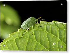 Southern Green Stink Bug Camouflaged On A Green Leaf Acrylic Print by Sami Sarkis
