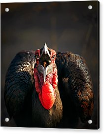 Southern Ground Hornbill Swallowing A Seed Acrylic Print by Johan Swanepoel