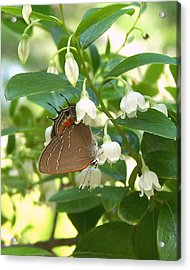 Acrylic Print featuring the photograph Southern Hairstreak On Sparkleberry by Peg Urban