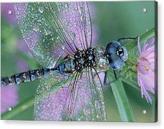 Southern Hawker Dragonfly Aeshna Cyanea Acrylic Print by Tim Fitzharris