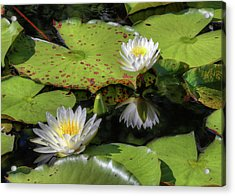 Southern Lilies  Acrylic Print by JC Findley