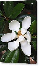 Southern Magnolia Grandiflora Acrylic Print