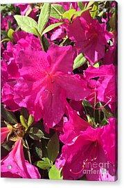 Southern Pink Acrylic Print