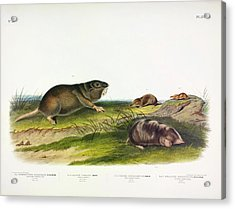 Southern Pouched Rat, Dekay's Shrew, Long-nosed Shrew, Silvery Shrew-mole Acrylic Print
