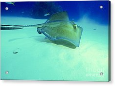 Southern Sting Ray Acrylic Print by Gregory Ochocki and Photo Researchers