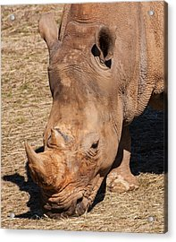 Southern White Rhino Acrylic Print by Chris Flees