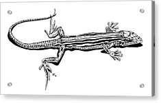 Southwest Lizard Acrylic Print by Stephen Taylor