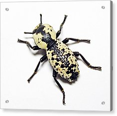 Southwestern Ironclad Beetle Acrylic Print by Bill Morgenstern