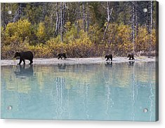 Sow Grizzly And Three Cubs Walking Acrylic Print