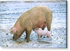 Sow With Piglet Acrylic Print by Science Source