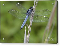 Spangled Skimmer Acrylic Print by Randy Bodkins