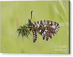 Spanish Festoon Butterfly Acrylic Print