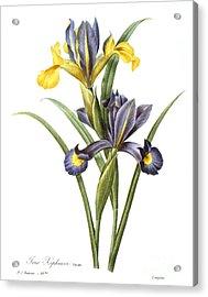 Spanish Iris Acrylic Print by Granger
