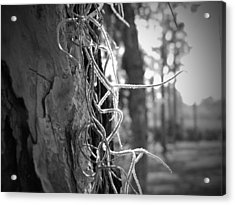 Spanish Moss In The Florida Sun Acrylic Print by Megan Verzoni