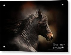 Spanish Stallion Acrylic Print