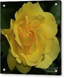 Sparkle And Shine Rose Acrylic Print