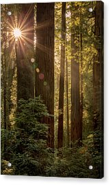 Sparkle In The Redwoods Acrylic Print