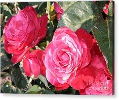 Sparkling Roses Acrylic Print by Carol Groenen
