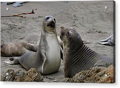 Sparring Seals  Acrylic Print by Christy Pooschke