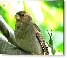 Sparrow And Walnut Bud Acrylic Print by Lisa Jayne Konopka