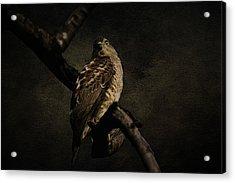 Sparrow Hawk Acrylic Print