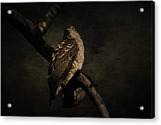 Sparrow Hawk Acrylic Print by Manjot Singh Sachdeva
