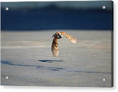 Sparrow On A Mission Acrylic Print by Dan Redmon