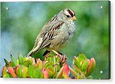 Sparrow Song 9 Acrylic Print
