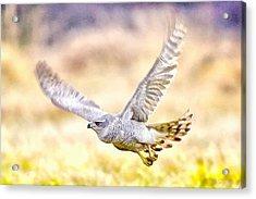 Sparrowhawk Acrylic Print