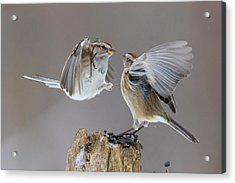Acrylic Print featuring the photograph Sparrows Fight by Mircea Costina Photography