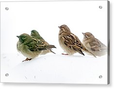 Sparrows In The Snow Acrylic Print