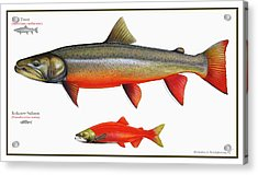 Spawning Bull Trout And Kokanee Salmon Acrylic Print by Nick Laferriere